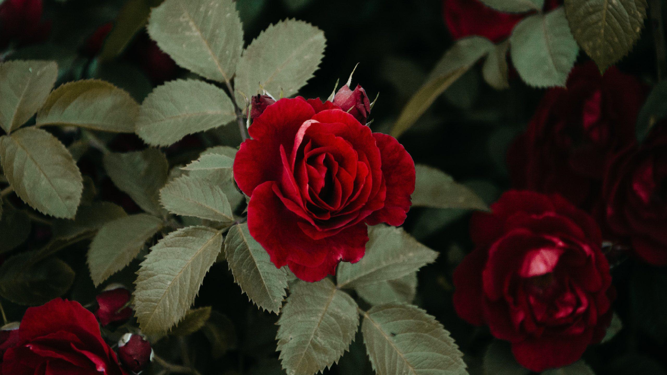 Rose giardino Roma